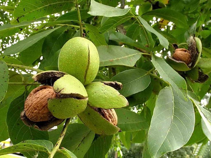 Два способа посадки грецкого ореха | Дача - впрок