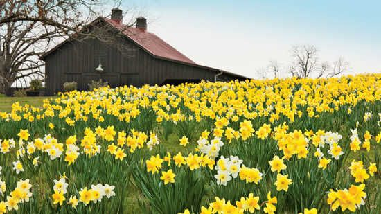 Whether you're planting 50 or 1,000 daffodill bulbs, garden expert P. Allen Smith knows how to get the biggest bang for you buck.