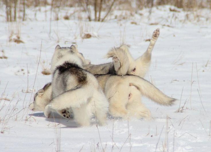 Эти смешные хаски фото | Фото хаски и маламуты