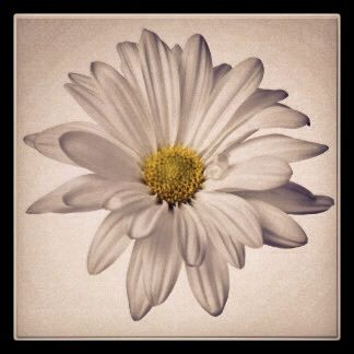 Daisy I want for my tattoo, only with maybe a couple of petals falling
