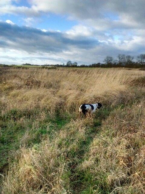 Field walk in Hempstead. Thick undergrowth & long grass =springer spaniel heaven!