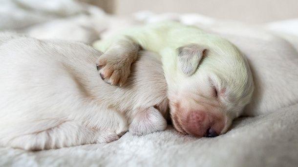 Golden Retriever Bringt Grunen Baby Hund Zur Welt Hunde Golden Retriever Niedliche Welpen