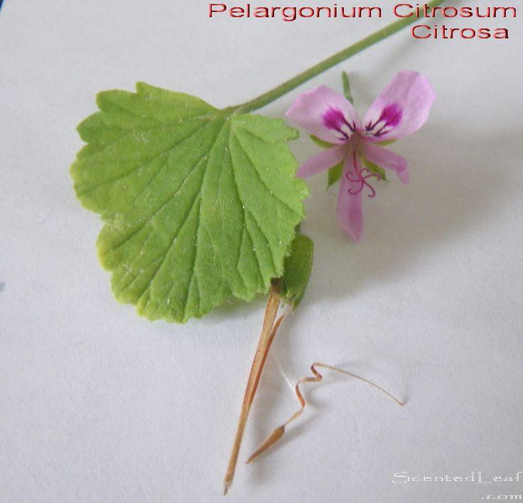 Pelargonium Citrosum, Citrosa