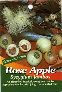Rose Apple Syzygium jambos