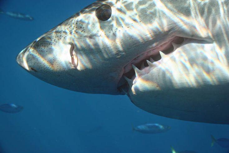 Повелитель морей - большая белая акула