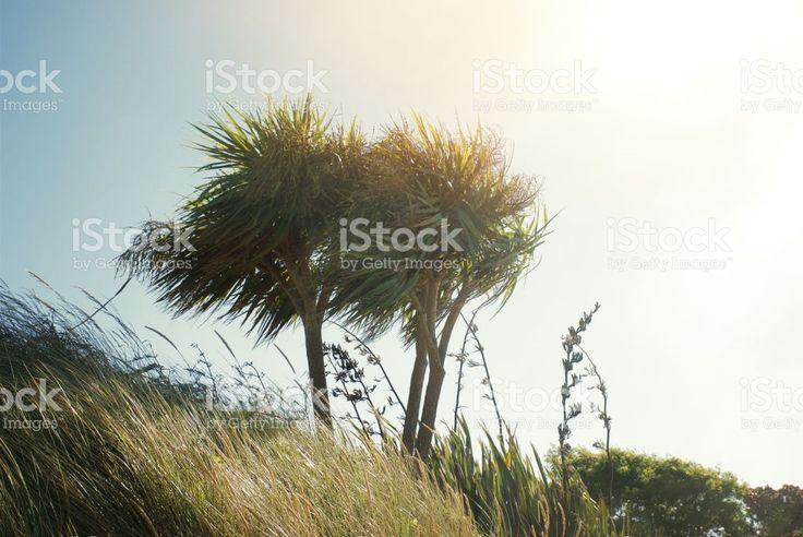 New Zealand Native Cordyline Australis (Ti Kouka) royalty-free stock photo