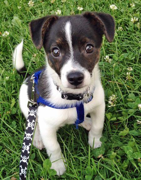 Hi, my name is Indy and I'm not sure what kind of breed I am. A lot of people think I'm part Jack Russell; maybe they are right. Either way, I am a super sweet, fun-loving guy. My favorite things to do are hiking and going to the dog park where I get to meet lots of people and other dogs. I may be small but I love going on adventures and I have a big personality.