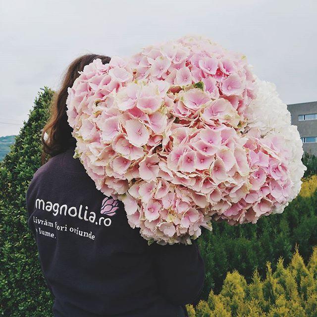 Gorgeous pink Hydrangea flowers. Hortensii roz. O minunatie!