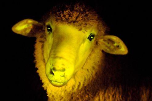 Placés sous une lumière ultra-violette, des moutons génétiquement modifiés élevés en Uruguay deviennent phosphorescents. Les chercheurs de l'Institut de reproduction animale d'Uruguay (IRAUy) et leurs collègues de l'Institut Pasteur de Montevideo ne cherchent pas spécifiquement à produire des animaux qui brillent dans l'obscurité...