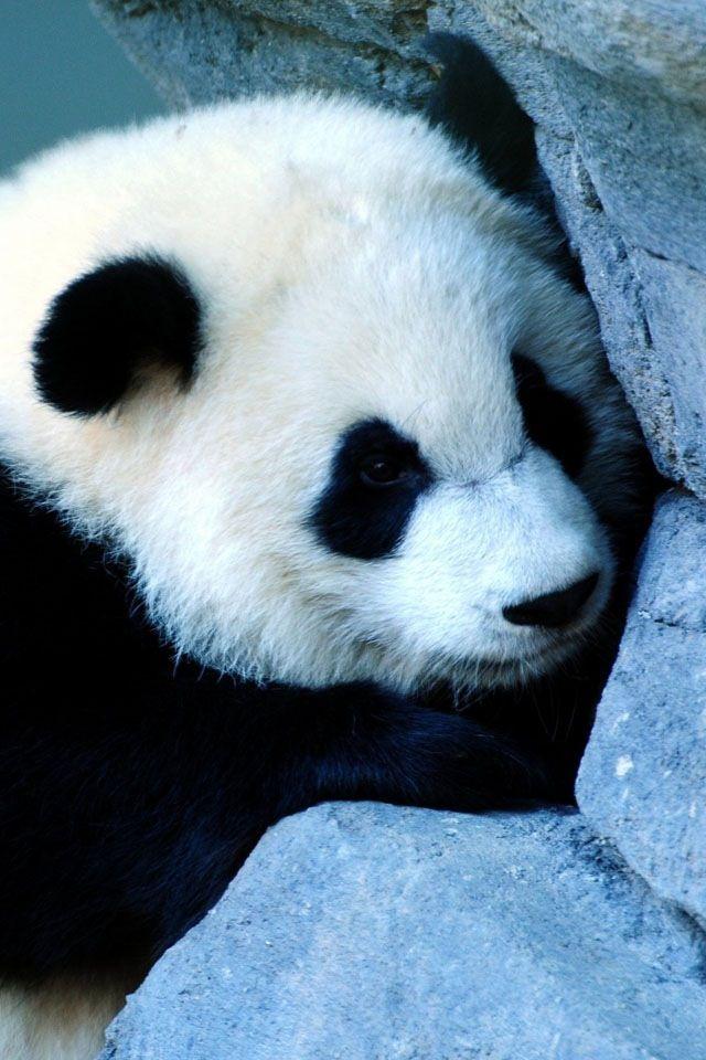 19 Best Images About Panda On Pinterest Panda Babies