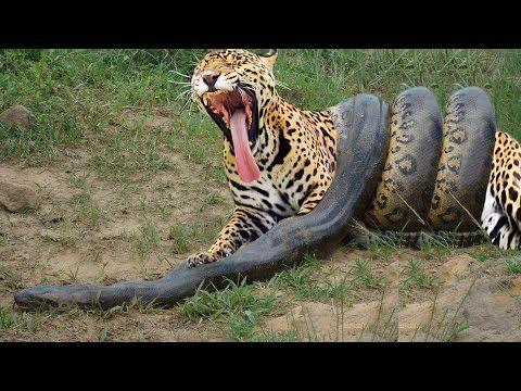 Giant Anaconda vs Jaguar - Python vs Tiger - Python vs Leopard                                                                                                                                                                                 More