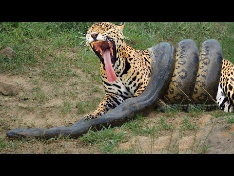 Giant Anaconda vs Jaguar - Python vs Tiger - Python vs Leopard                                                                                                                                                                                 More