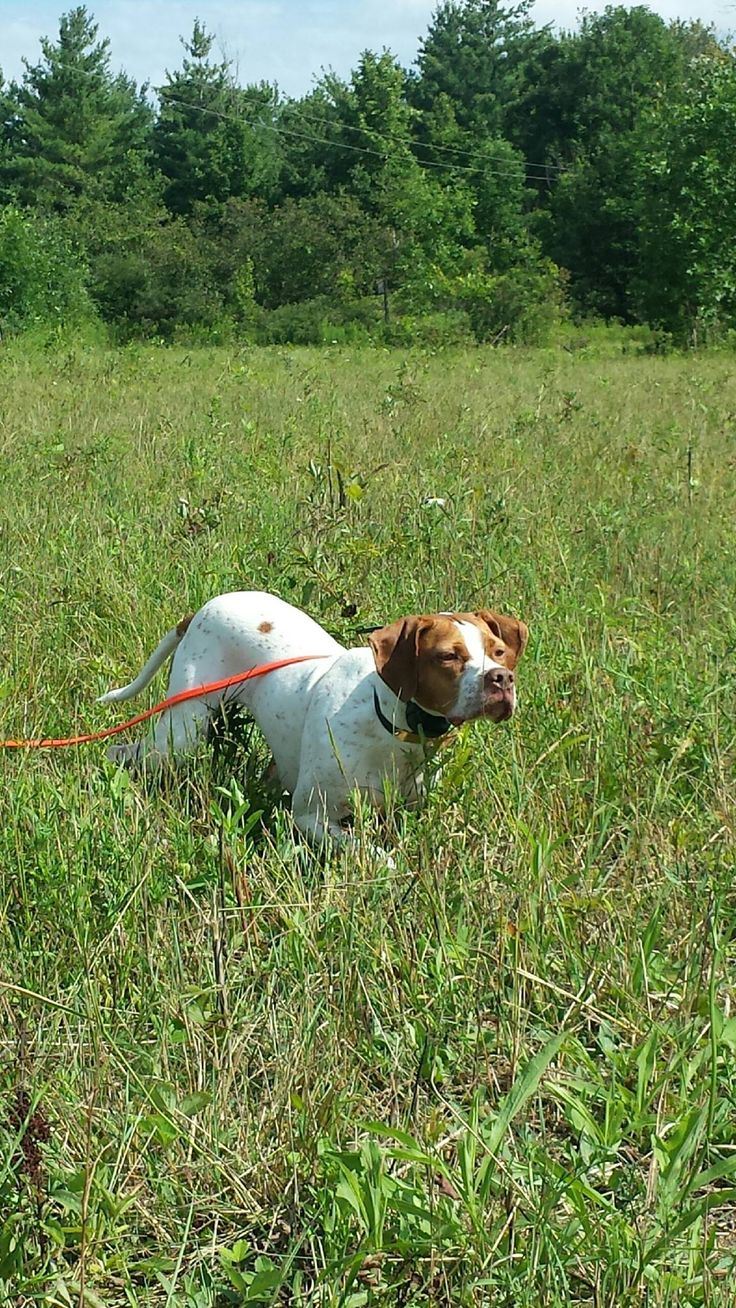 best english pointer lover images on pinterest english pointer