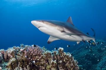 Oahu Shark Dive - boat tour with option to enter shark cage
