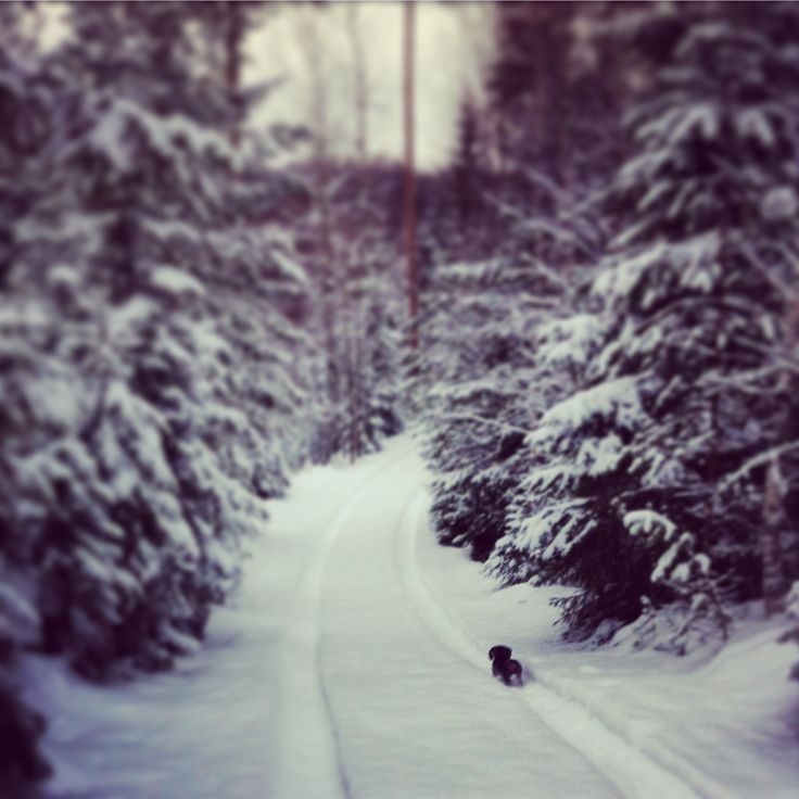 Wirehaired dachshund puppy Urho exploring the Finnish winter forrest.