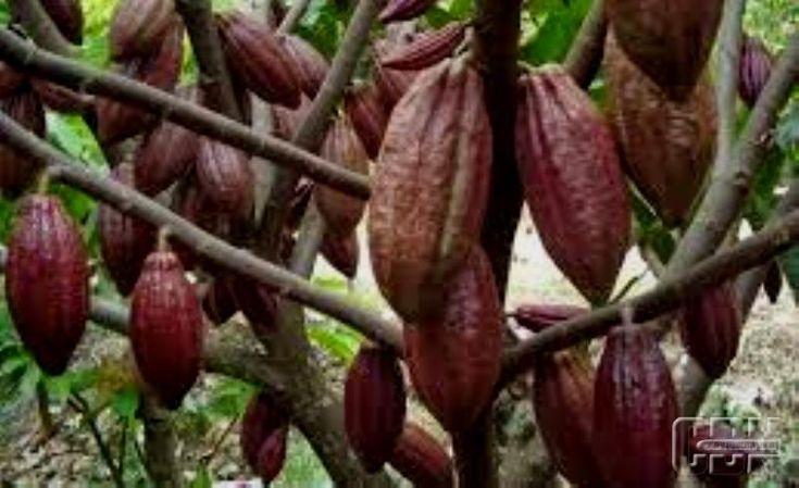 Kebun Kakao Bali