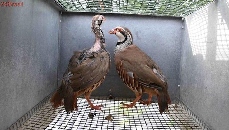 Milhares de pássaros são forçados a ter filhotes para serem alvos em temporada de caça