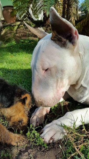Genital breed Bull Terrier