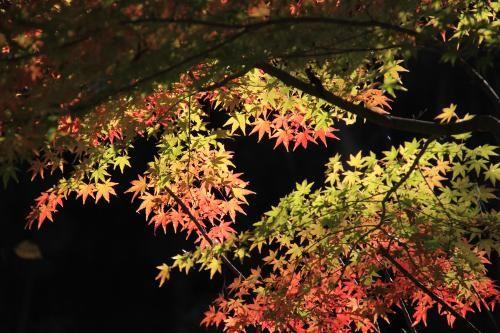 ヤマモミジ苗 植木・庭木・花木苗 自然を育てる 自然生活ネット通販