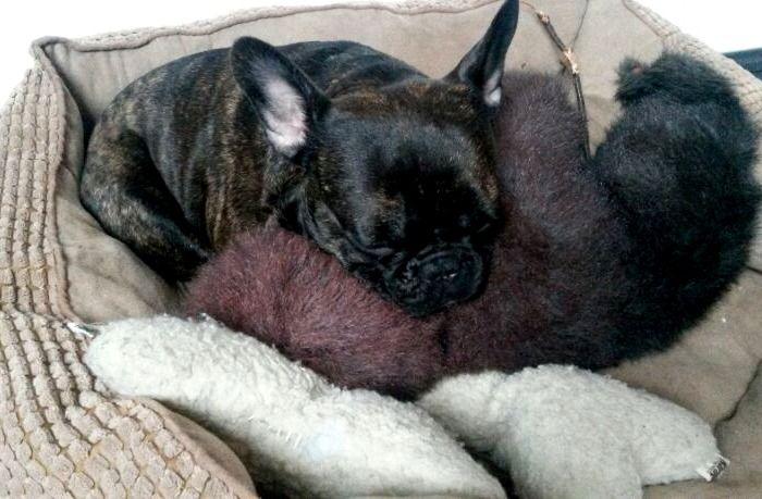 Französische Bulldogge Gizmo Montagmorgen? Ohne mich!   Hundename: Gizmo / Rasse: Französische Bulldogge      Mehr Fotos: https://magazin.dogs-2-love.com/foto/franzoesische-bulldogge-gizmo/ Foto, Hund
