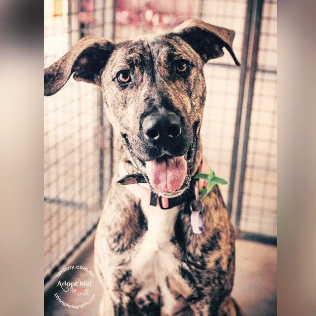 #mynameisdrax #adoptme #adoptable #adoptdontshop #renburyfarm #renburyfarmanimalshelter #rescuedisthebestbreed #rescuepetsofinstagram #rescueme #heartsspeak #brindleisthenewblack #dogsofsydney #dogs_of_instagram #dogsofinstagram #dogsofaustralia
