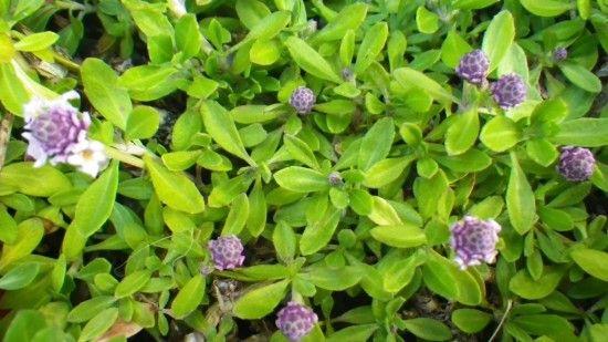 Lippia - Landsdale Plants