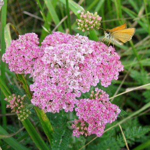 Common yarrow, Achillea millefolium - range and identification, wildlife uses, medicinal uses.