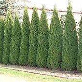 www.johnstowngardencentre.ie p betula-jacquemontii-trinity-college---white-stem-silver-birch-tree betula_trinity_college