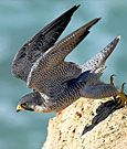 Identify birds on this website (Cornell Lab of Ornithology).  Includes bird cams and bird songs.  Photo is a Peregrine Falcon