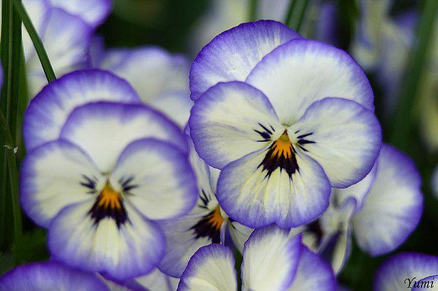 pansies, one of my favorite flowers