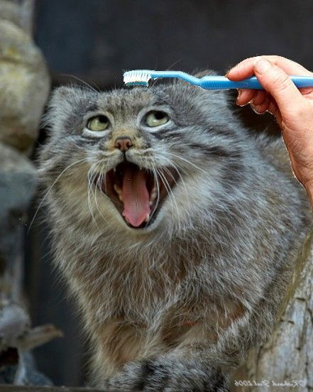 """[Pallas cat, also known as Manul; a small wild cat.] ---------------------------- """" Me woulds really rather groom meself! A toof'brush of allz things! Me thought dat wuz NOT categorized az wut yer usin' it fer."""""""