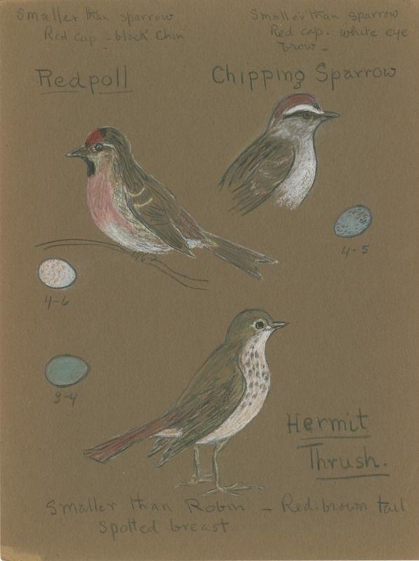 Red Poll, Chipping Sparrow, Hermit Thrush | saskhistoryonline.ca