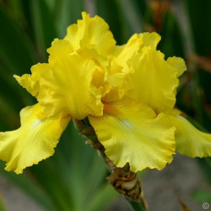 Iris germanica October Sun - 1 plant Buy online order yours now