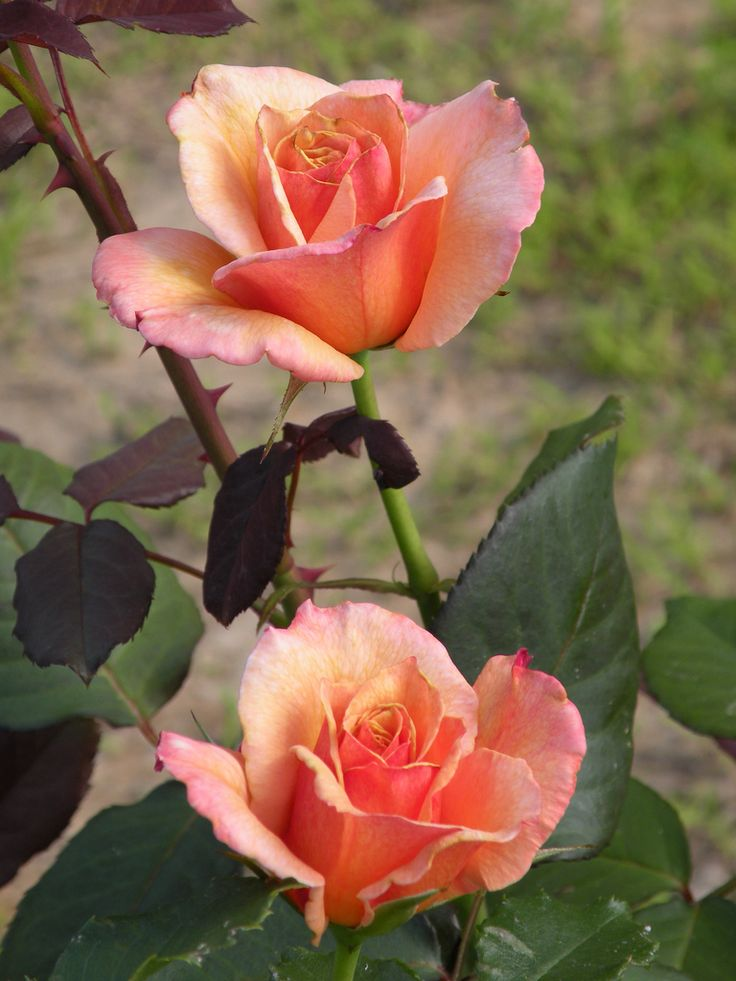 'Tahitian Sunset' | Hybrid Tea Rose. Dr. Keith W. Zary (United States, before 2006). | Flickr - © Cynthia Crawley