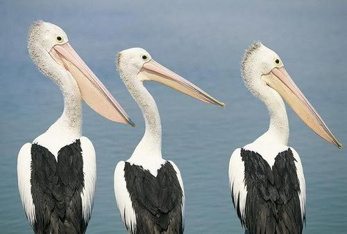 "A trio of pelicans ... in the ""Pelican Capital of Australia"""