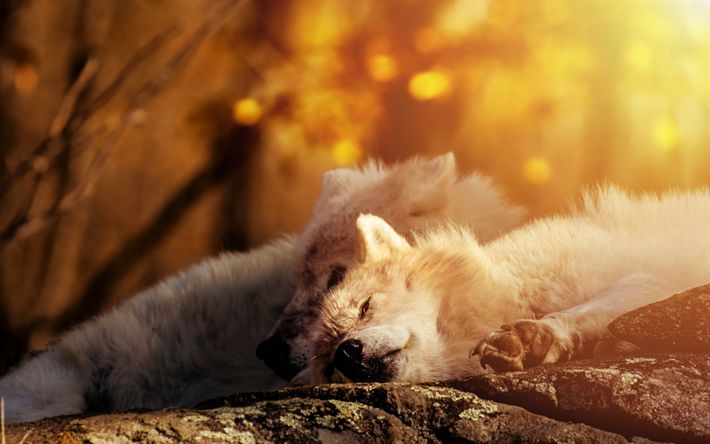 Download wallpapers white wolves, forest, predator, wildlife, pair of wolves