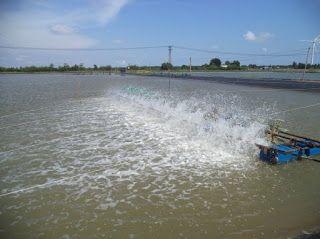 Shrimp Farming: POND