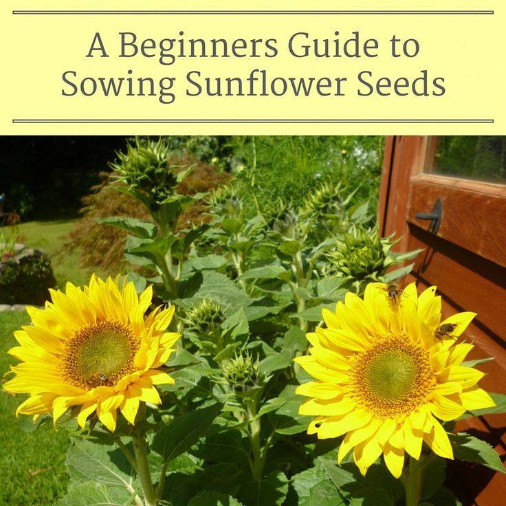 How to Sow Sunflower seeds  Gardening flowers how to grow sunflowers garden tips