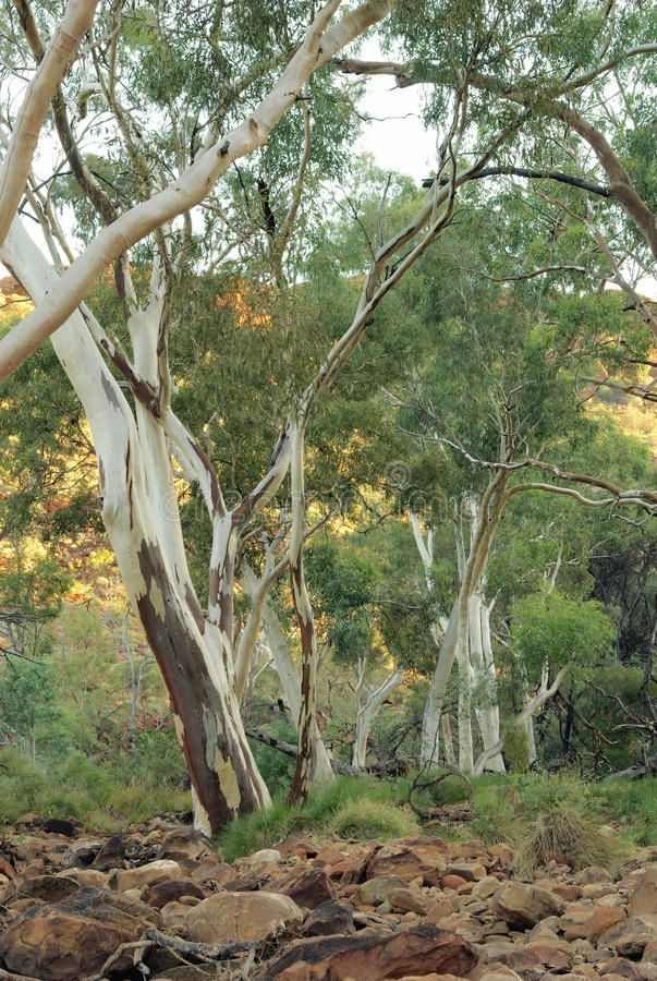 Ghost Gum Tree Paul Chantler Tree Photography Australian Trees