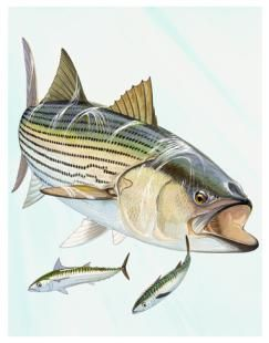Striped bass fish on weekends maryland