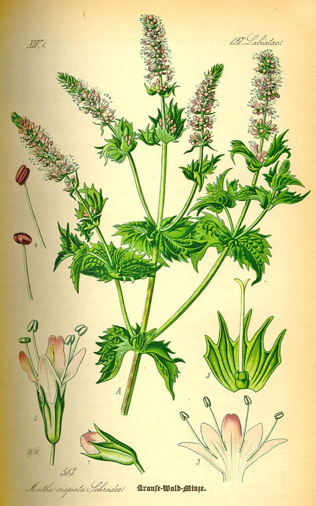 Some sources say that the name Mint originated from the Greek nymph Menthe, who was a lover of Hades. Persephone, Hades' wife discovered this romance. To protect Menthe Hades decided change nymph into a mint plant. http://www.darkchocolatecourse.com/knowledge/6-spices-for-chocolate/