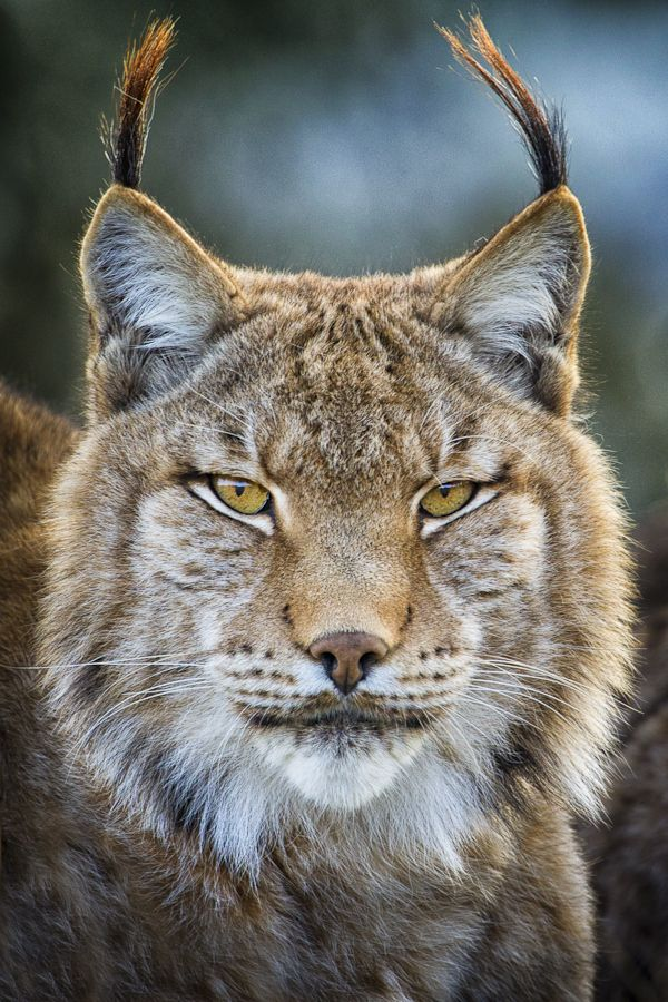 A portrait of an Eurasian #Lynx (Lynx lynx) Image taken at Cabarceno Nature Park in Cantabria, #Spain.