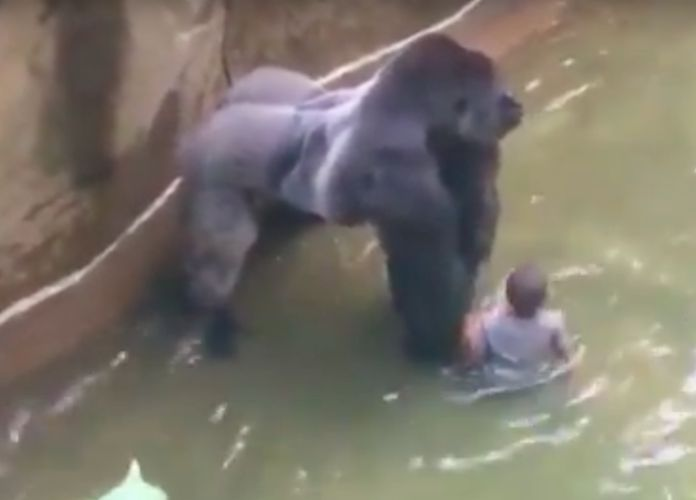 Video Released Of Harambe, Gorilla Killed At Cincinnati Zoo After 3-Year-Old Falls Into Enclosure