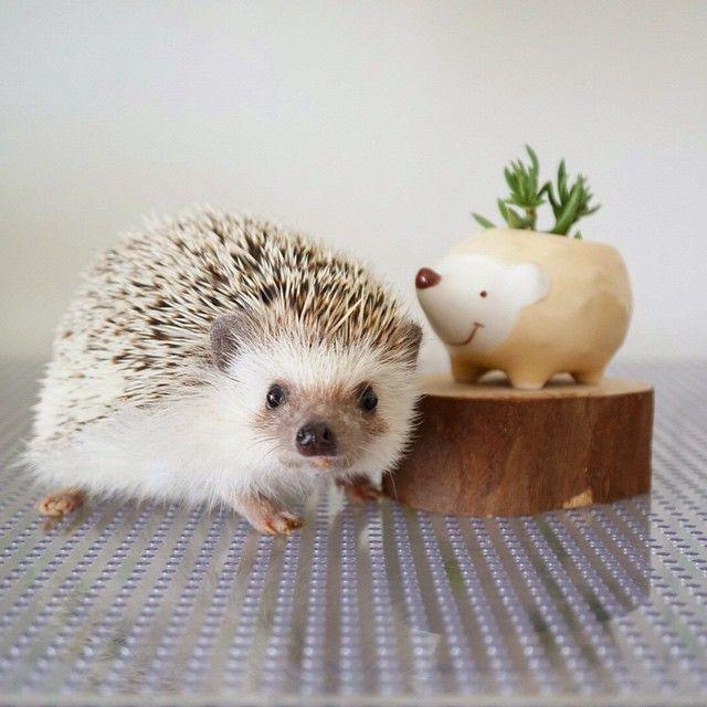 #hedgehog #hedgie #ハリネズミ #cute #animal #pet #hérisson #多肉植物 東急ハンズで買ってきました。