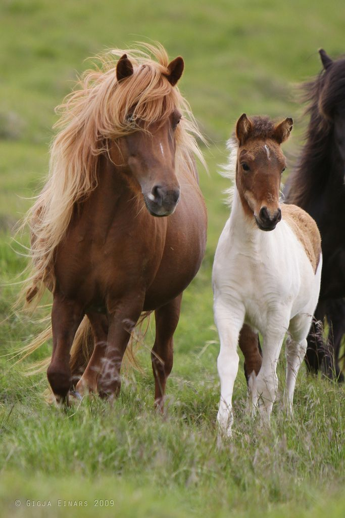 """I am so taking this picture into the salon and say, """"This is the hair I want!"""" (Icelandic Horses)"""