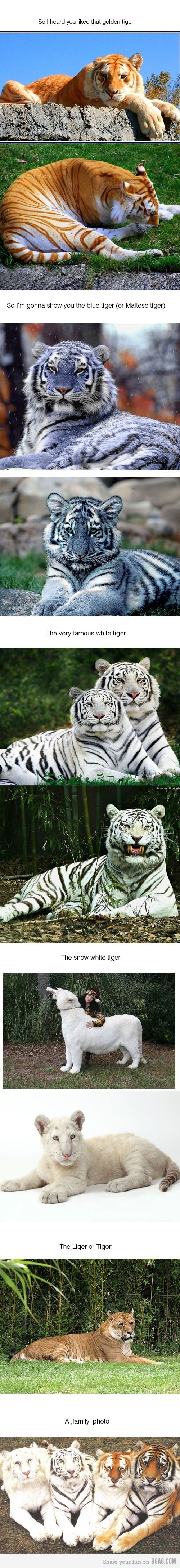 They are so beautiful! I've never seen the blue tiger!