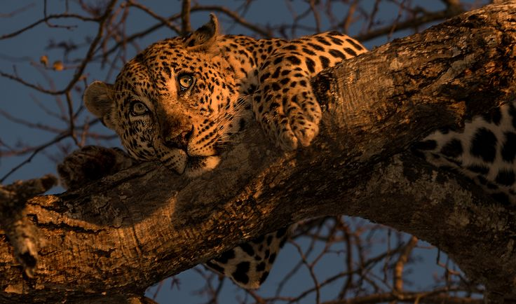 Leopard - I named this image (Peaceful and Powerful) - copyrighted - bruna@thrumyafricanlens.co.za