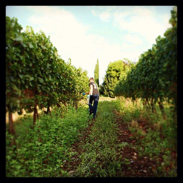 """Domani iniziamo la #vendemmia! #franciacorta #vino #wine #harvest #hardwork #vineyards #instawine #instapic #instawow #instacool #instagood #like #lovewine #winelovers #lovewine #picoftheday #photooftheday #igers #tagsta #tagstagram #tag #love #popularpic #green #nature #landscape"""