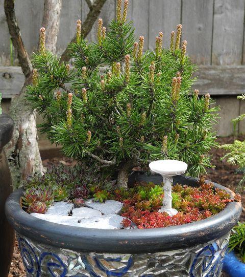 Miniature gardening with next winter in mind. #miniaturegarden #fairygarden #miniatureplants