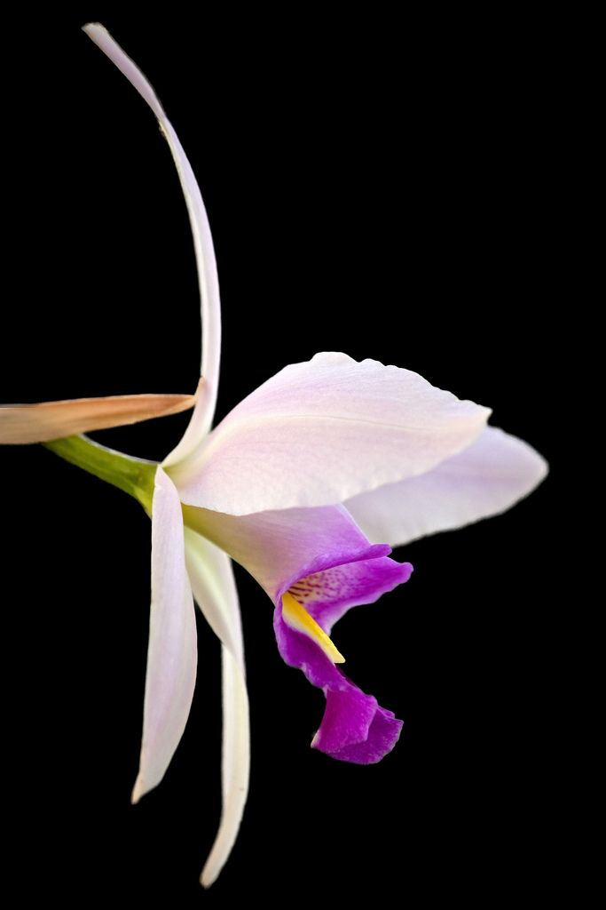 Amazing Orchid